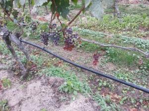 Grape Vines - Truro, MA